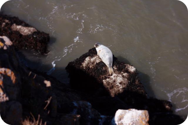 Seal at Rhosilli Bay