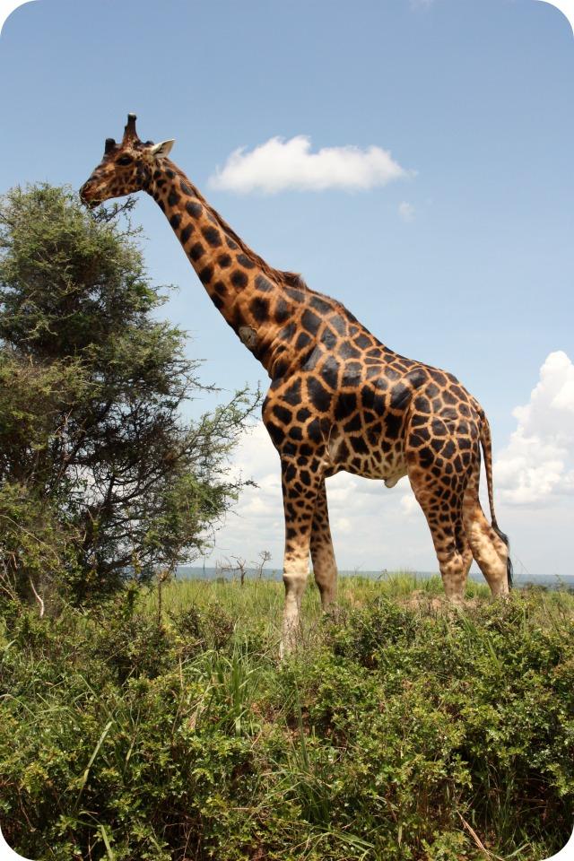 Giraffe at Murchison Falls
