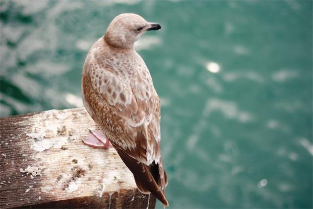 Seagull on Santa Cruz warf