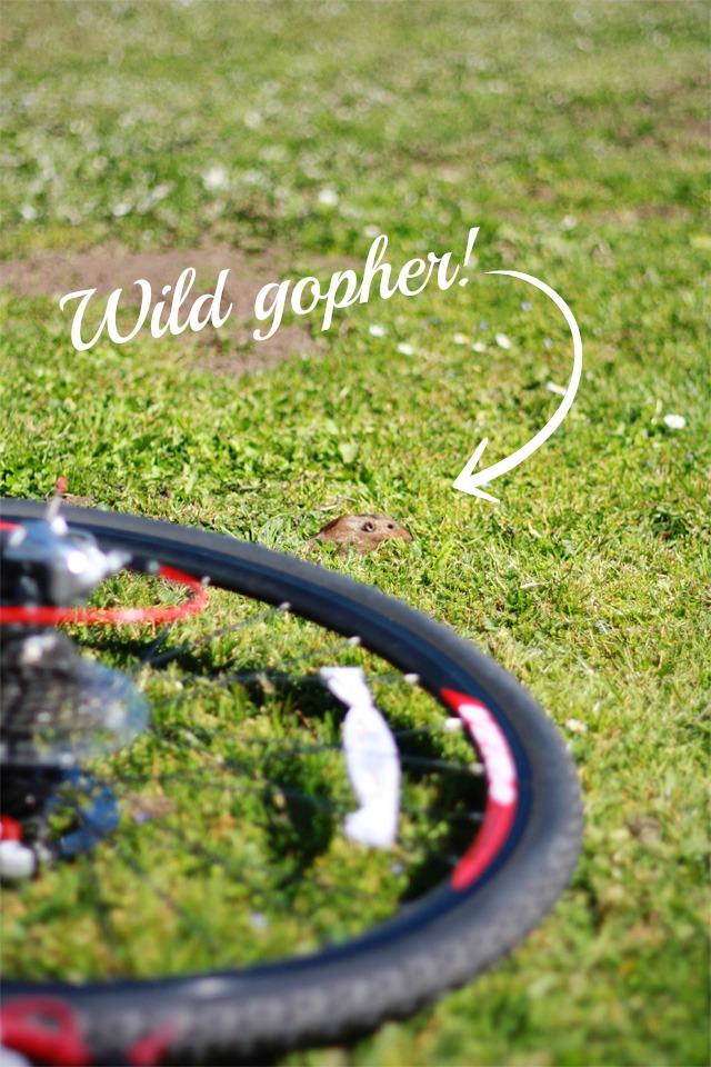 Golden Gate wild gopher
