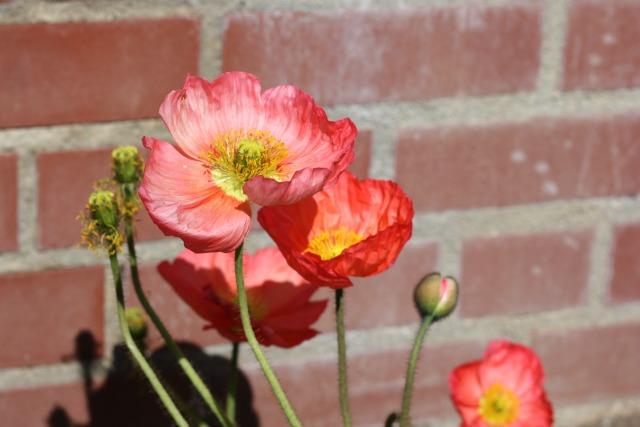 Peach coloured poppies