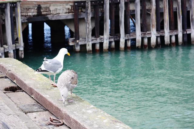 Seagulls at Fort Mason