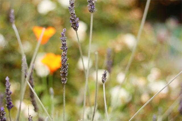 Springs of lavender