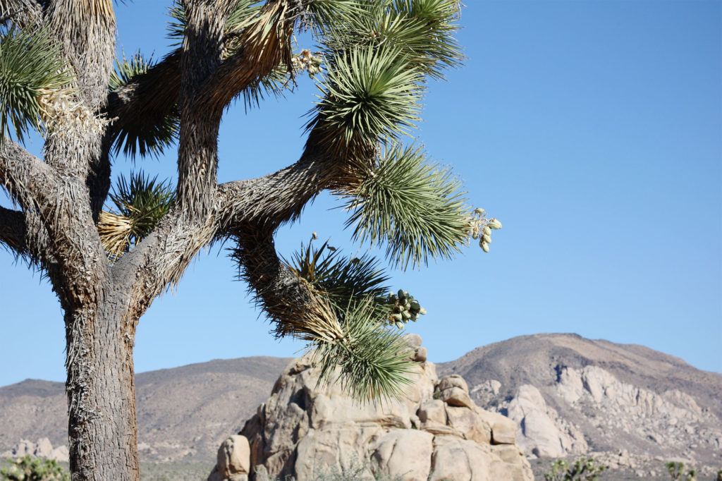 Joshua trees at Jousha Tree
