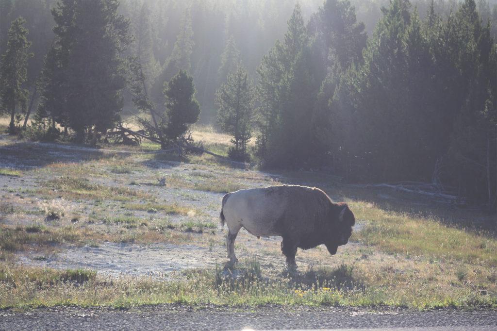 Bison dust bath at Yellowstone